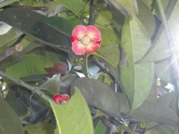 bunga_manggis