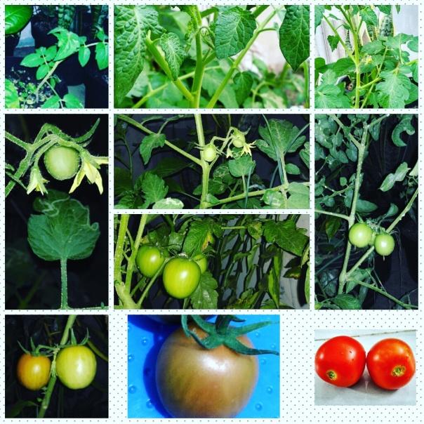tahapan perembangan tomat