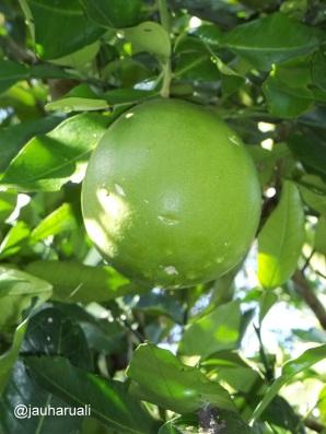 Jeruk Bali yang masih nempel dipohon