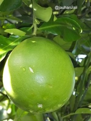 Jeruk bali difoto lebih dekat