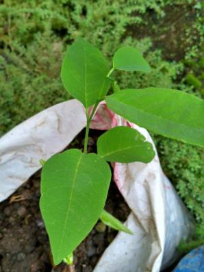 Sarikaya Tumbuh daun